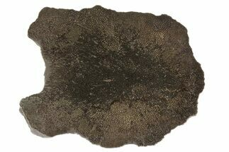 "Buy 3.5"" Sliced Pliosaur Vertebrae With Pyrite Replacement - Russia - #78532"