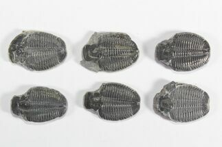 "Wholesale Lot: 1 3/8"" Elrathia Trilobite Molt Fossils - 6 Pieces For Sale, #79019"