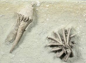 Buy Two Detailed Crinoids (Agaricocrinus & Macrocrinus)  - Indiana - #78298