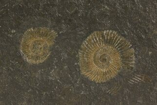 "Buy 4.7"" Dactylioceras Ammonite Plate - Posidonia Shale, Germany - #79300"