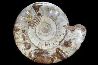 "Monster, 19.3"" Jurassic Ammonite Fossil - Madagascar For Sale, #79451"