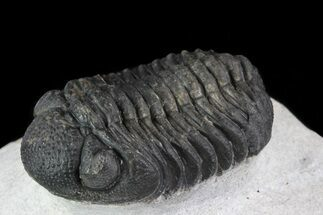 "Bargain, 1.7"" Barrandeops Trilobite - Nice Eye Facets For Sale, #79844"