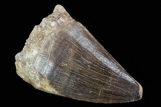 "Buy 1.7"" Mosasaur (Prognathodon) Tooth  - #79858"