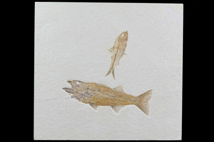 Pair Of Fossil Fish Including Mioplosus - Wyoming