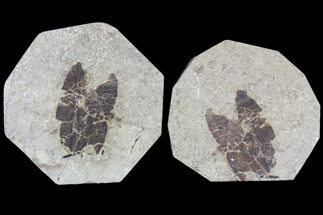 "Buy 1.6"" Fossil Leaf (Pos & Nev) - Green River Formation - #79729"