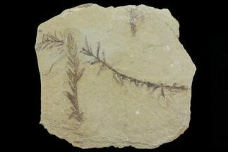 Metasequoia (Dawn Redwood) - Fossils For Sale - #79566