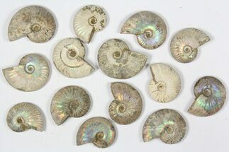 Various - Fossils For Sale - #79443
