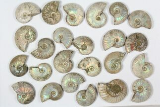 "Buy Wholesale: 1 KG Silver Iridescent Ammonites (2-3"") - 21 Pieces - #79450"