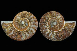 Cleoniceras - Fossils For Sale - #78579