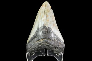 "4.44"" Fossil Megalodon Tooth - North Carolina For Sale, #79895"