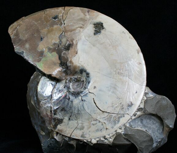 "5"" Placenticeras Ammonite - Pierre Shale, SD"