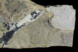 "3"" Pennsylvanian Fern (Macroneuropteris) Fossil - Kinney Quarry, NM - #80419-2"