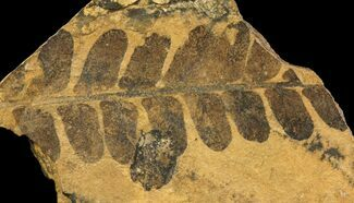 "3.3"" Fern (Neuropteris) Fossil & Seed - Kinney Quarry, NM For Sale, #80438"