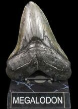 Carcharocles megalodon - Fossils For Sale - #80070