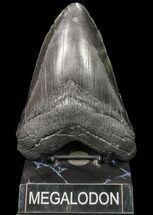 Carcharocles megalodon - Fossils For Sale - #80079