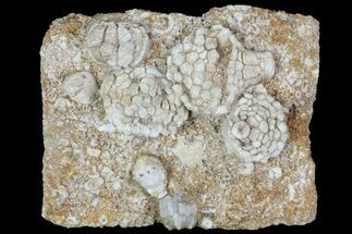 Mississipian Fossil Crinoids & Blastoids - Missouri For Sale, #80801
