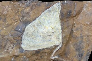 "Buy 2.75"" Fossil Ginkgo Leaf From North Dakota - Paleocene - #80806"