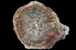 "8.2"" Polished Petrified Wood (Araucaria) Slab - Arizona For Sale, #80894"