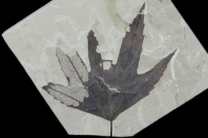"4.8"" Fossil Sycamore (Platanus) Leaf - Green River Formation"
