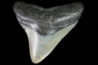 Carcharocles megalodon - Fossils For Sale - #80838
