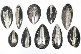 "Buy Wholesale Lot: Polished Orthoceras Fossils (2-4"") - 100 Pieces - #80743"