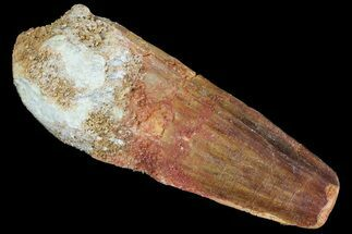 "1.75"" Spinosaurus Tooth - Real Dinosaur Tooth For Sale, #81146"