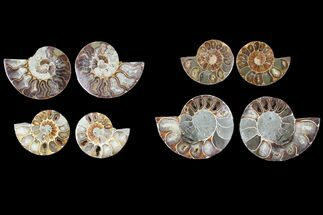 "Buy Wholesale: 2-3"" Cut Ammonite Pairs (Grade B) - 67 Pairs - #81277"