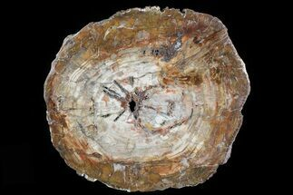 "Buy 15.5"" Colorful Petrified Wood (Araucaria) Round - Madagascar  - #81343"