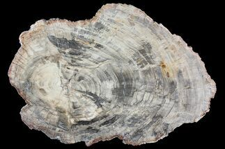 "Buy 17.7"" Triassic Petrified Wood (Araucaria) Round - Madagascar - #81442"