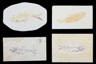 "Buy Wholesale Lot: Cheap, 1.5 to 3"" Green River Fossil Fish - 20 Pieces - #81412"