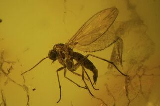 Fossil Fly (Diptera) In Baltic Amber  For Sale, #81707