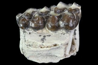 ".8"" Oligocene Horse (Mesohippus) Jaw Section For Sale, #81494"
