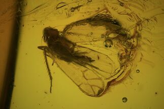 Fossil Cicada (Auchenorrhyncha) Larva In Baltic Amber For Sale, #81809