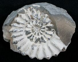 "Buy 2.0"" White Pleuroceras Ammonite - Germany - #6154"