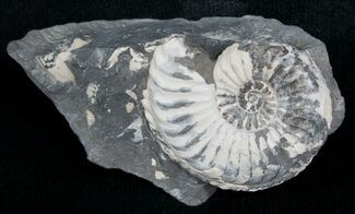 "1.0"" White Pleuroceras Ammonite - Germany For Sale, #6167"