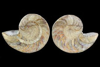 "Buy 2.5"" Cut & Polished Nautilus Pair - Madagascar - #81979"