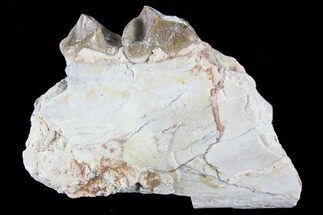 Family Merycoidodontidae - Fossils For Sale - #82188