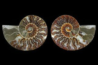 "Buy 3.1"" Cut & Polished Ammonite Pair - Agatized - #82288"