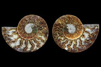"3.1"" Cut & Polished Ammonite Fossil - Agatized For Sale, #82295"