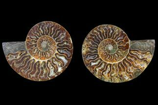 Cleoniceras - Fossils For Sale - #82335
