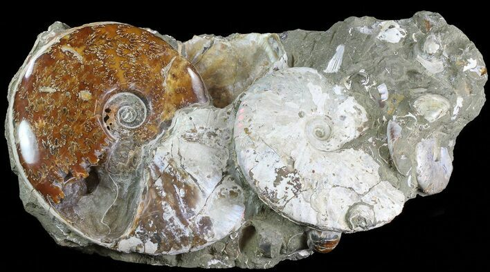 "18.5"" Wide Fossil Ammonite Cluster In Rock - Madagascar"