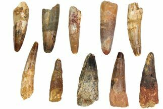 "Buy Wholesale Lot: 2-2.5"", Bargain Spinosaurus Teeth - 10 Pieces - #82621"