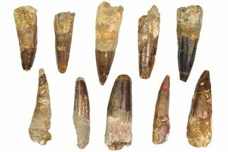 "Buy Wholesale Lot: 2-2.5"", Bargain Spinosaurus Teeth - 10 Pieces - #82624"