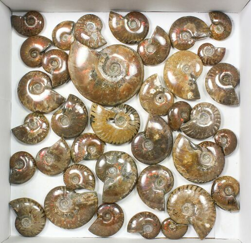 "Wholesale: 1kg Iridescent, Red Flash Ammonites (1-3"") - 37 Pieces"