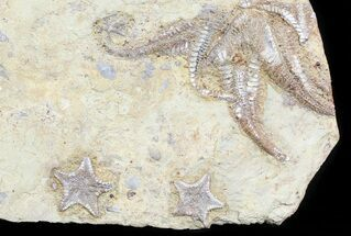 Plate Of Rare Cretaceous Starfish (3 Types) - Morocco For Sale, #54317