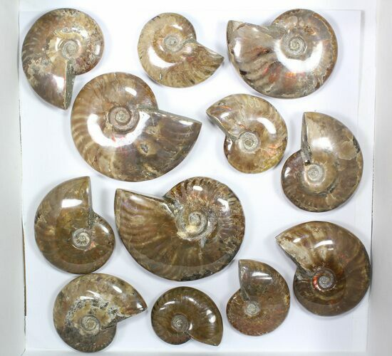 "Wholesale: 1kg Iridescent, Red Flash Ammonites (2-3"") - 12 Pieces"