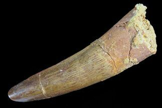 "2.32"" Real Spinosaurus Tooth - Feeding Worn Tip For Sale, #82997"