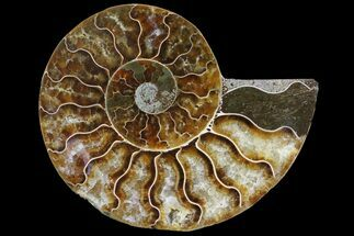 Cleoniceras - Fossils For Sale - #83808
