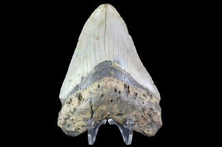 "Buy Bargain, 4.26"" Megalodon Tooth - North Carolina - #83914"