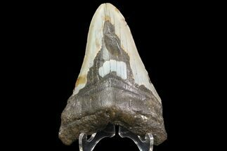 "Bargain, 4.62"" Megalodon Tooth - North Carolina For Sale, #83948"